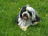 Tibetan Terrier in meadow with flowers