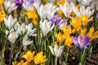 Colorful crocuses blooming in spring on flowerbed
