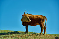 Mongolian cows in a mountain meadow
