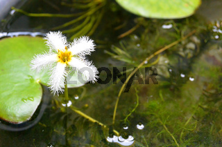Nymphoides indica - Water Snowflake. Cambodia