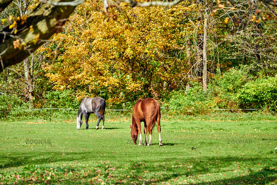 Horses grazing at a pasture in Vermont