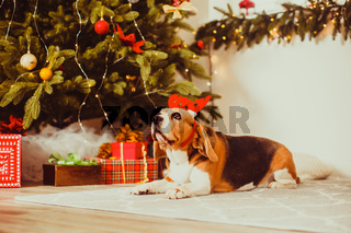 dog with deer horns decoration under the christmas tree