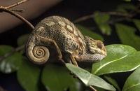 Juvenile Panther chameleon (Calumma parsonii), Madagascar