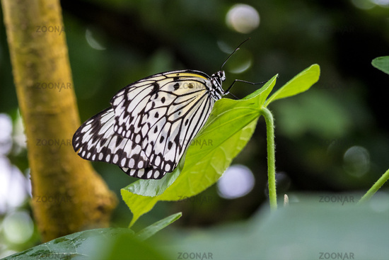 Tree Nymph butterfly or Rice Paper butterfly, Idea leuconoe on flowers