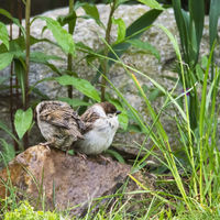 Young sparrows in the grass
