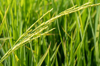 Paddy rice plant