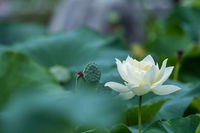 wihte lotus flower in bloom in summer