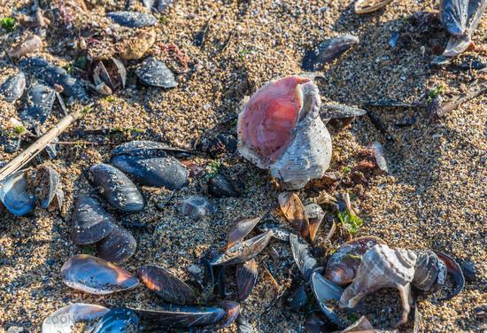Empty rapana by the sea