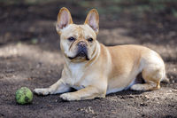 Curious French Bulldog Male Taking a Break.