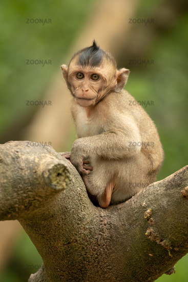 Baby long-tailed macaque faces camera on branch