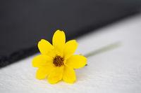 Goldmarie (Bidens ferulifolia)