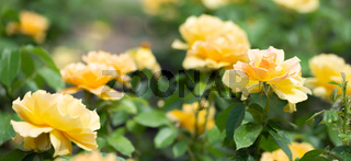 Yellow roses in a garden