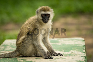 Vervet monkey sits on wall facing camera