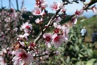 Almond tree (Prunus dulcis) - almond blossom