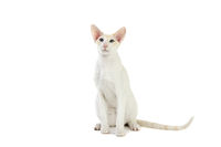 Purebred cute siamese cat studio shot