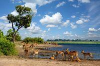 drinking herd of impala in Chobe, Botswana