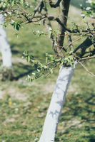 pear tree with bark whitewashed with lime