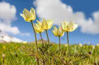 Daffodil windmills (Anemone narcissiflora)