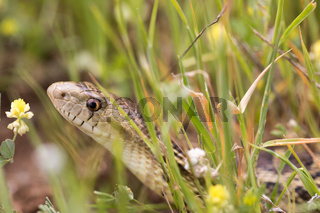 Pacific Gopher Snake (Pituophis catenifer catenifer) hiding in the grass.