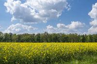 Rapsfeld und Wolkenhimmel