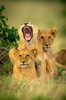Lion cub lies yawning widely on another