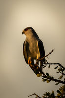 Black-shouldered kite on leafy branch turning head