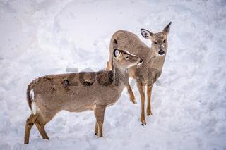 white tailed deer seeking food in snow