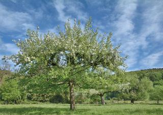 Obstbluete im Bergischen Land bei Solingen,Nordrhein-Westfalen,Deutschland
