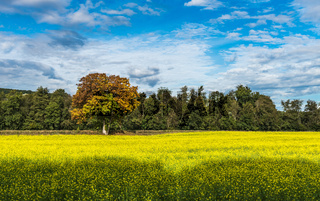 Summer countryside landscape. Green field with yellow flowers.