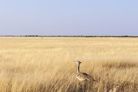 Kori bustard in the Etosha National Park, Namibia.
