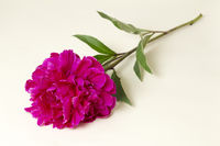 Red peony (peony) lying on beige background
