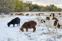 gout grazing snow covered meadow in Colorado