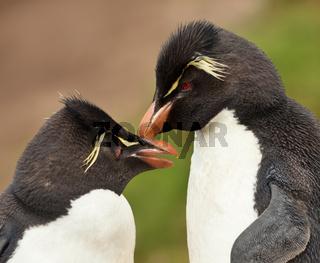 Rockhopper penguins preening each other