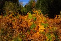 colorful bracken