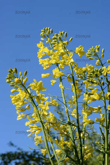 Cabbage flowers, yellow in front of blue