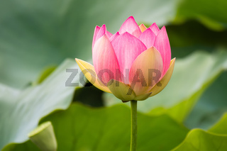 beautiful lotus flower blossom in the garden pond