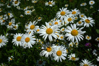 marguerite; dog daisy; French daisy; oxeye daisy