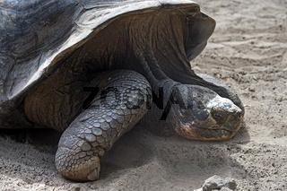 Galapagos-Riesenschildkröte (Chelonoidis nigra ssp), Galapagos Inseln, Ecuador