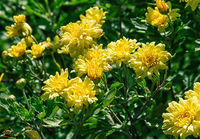 Blooming yellow chrysanthemums