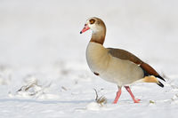 Egyptian Goose * Alopochen aegyptiacus * on a sunny winter day, walking through snow