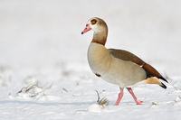 Egyptian Goose * Alopochen aegyptiacus * on a sunny winter day, walking through snow