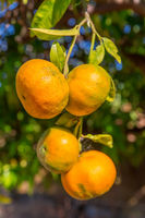 Four orange tangerines hanging at tree in Algarve Portugal