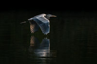 Great Blue Heron in Flight VIII