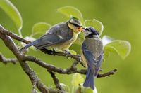 blue tit feeding a brancher
