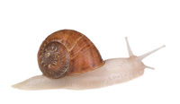 An albino garden snail, Cornu aspersum, isolated