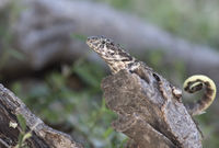 northern curly-tailed lizard that sits on a dry tree trunk in the shade on a bright sunny day