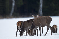 Red Deer hinds and calves in winter