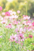 Cosmos flowers in nature, sweet background