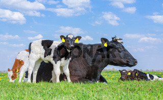 Mother cow with newborn calves in green grass