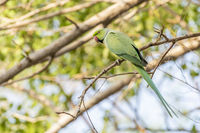 Rose-ringed Parakeet, Dubai, UAE